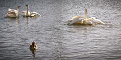 get in (pamelaadam) Tags: bird nature animal digital visions march geese iceland duck spring meetup fotolog reykjavik whooperswan 2013 thebiggestgroup