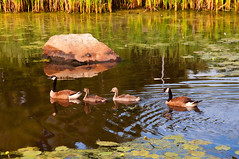 Family Outing (Bud in Wells, Maine) Tags: summer water reflections geese canadageese topaz northreading