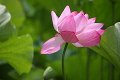 "Pink petal  "" Lotus "" (eyawlk60) Tags: pink flowers summer plant flower canon eos pond lotus petal nippon    nelumbo nelumbonucifera  40d flickraward"