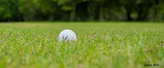 Lost On The Fairway - simplicity (ColmRWPhotography) Tags: macro bird nature field birds lady ball wow golf nikon university driving shot wildlife excellent range depth keele d3100