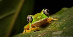 The critically endangered Lemur Leaf Frog (Agalychnis lemur) at Costa Rican Amphibian Research Center (Steven David Johnson) Tags: costarica sacas siquirres agalychnislemur costaricanamphibianresearchcenter sustainableamphibianconservationoftheamericassymposium