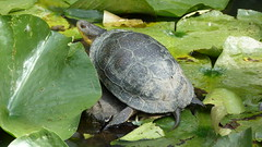 "Blandings Turtle • <a style=""font-size:0.8em;"" href=""http://www.flickr.com/photos/77994446@N03/9521115576/"" target=""_blank"">View on Flickr</a>"