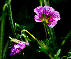 I just had too.Explorer (Omygodtom) Tags: park macro green art nature nikon purple bokeh tammy tamron raindrop tamron90mm dk7 simpleflowers d7000