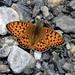 012 3GletscherTour Schmetterling Hintertuxer Gletscher Hintertux CIMG2640