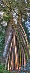 Bambus Ticino (stega60) Tags: panorama naturaleza tree nature arbol switzerland ticino natur baum hdr bambus hdrpanorama stega60