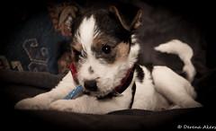 Jack a wa wa! (derena_d.) Tags: dog chihuahua cute scarf puppy sweet gorgeous adorable jackrussell fred cravate jackahuahua jackawawa jackahua