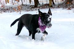 Snow blind :) (karen&2mutts) Tags: marcy batdog snowdog sillydog snowblind batears snowyface dogswearingbandanas