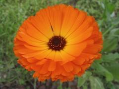 Calendula -   (yoel_tw) Tags: marigold calendula