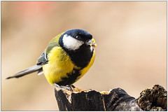Cinciallegra (Fausto Deseri) Tags: greattit parusmajor cinciallegra wildlife nature birds wild pentaxk3 pentaxfa300mmf45edif tckenkoaf15x