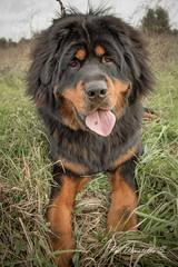 Tashi il gigante buono (donatella.s) Tags: dog pet white black cute male beautiful smiling animal cane del puppy golden healthy funny soft pretty sitting adult serious little background mastiff guard handsome fluffy down retriever tibet tibetan isolated tibetano laying purebred mastino