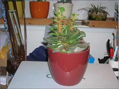 Cactus-Tillandsia-4a (cuirung) Tags: jade gollum haworthia airplant crassula felina faucaria perforata tigerjaw cactustillandsia bulbbolsa