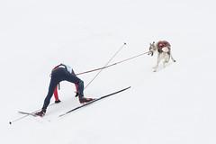 Kandersteg International Sled Dogs Competition 1 (fd_alsaker) Tags: snow dogs sport work skiing hard competition kandersteg effort sleddogs schlittenhunde