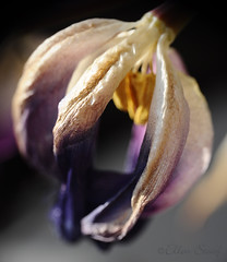 final invite (LL) Tags: macro tulip fading pollen makro invite tulpe verwelkend letzteeinladung freinebiene