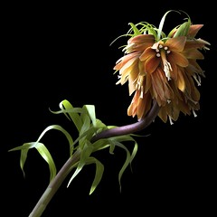Frittilaria Imperialis (Big Bird) (Pixel Fusion) Tags: flower macro nature flora nikon imperialis d600 frittilaria