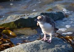 Pinguin en mode séchage