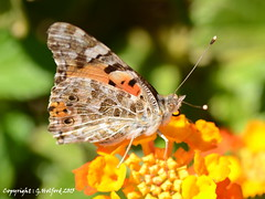Cypriot Butterfly Macro (Holfo) Tags: macro butterfly insect wings cyprus nikonld5100