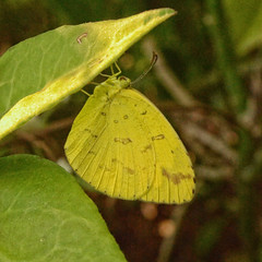 Common Grass Yellow (Kingshuk Mondal) Tags: grass yellow butterfly common kingshuk eurema hecabe kingshukmondal