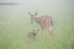 Mother and Child (www.matthansenphotography.com) Tags: baby cute wet field grass rain weather june horizontal fog mom small hunting mother adorable doe deer fawn editorial ungulate deerhunting whitetaileddeer licensing odocoileusvirginianus whitetaildeer whitetaildoe whitetailfawn matthansen photousage northamericangame virginiawhitetaileddeer virginiawhitetaildeer northamericanbiggame matthansenphotography northamericanhunting