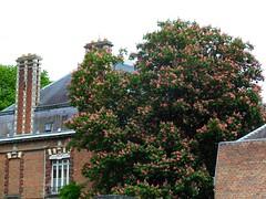 Marronnier en fleur   Henriville (xavnco2) Tags: red chimney france tree brick wall fleurs rouge blossom mur arbre amiens picardie briques chemine quartier somme horsechesnut marronnier henriville