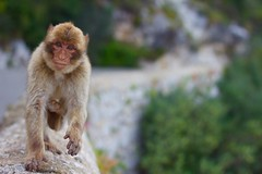 Barbary Macaque (sophiehep) Tags: rock wall monkey furry action running ape macaque barbary gibralta