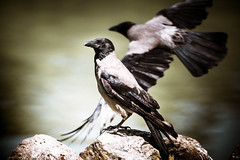 _DSC6216 (syderianus) Tags: bird crow uccello cornacchia
