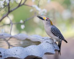 Woodpecker at Bird Bath