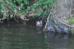 European otter (Lutra lutra) with lamprey (4) (Geckoo76) Tags: river otter lamprey europeanotter