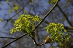 _DSC0906 (wdeck) Tags: trees sony baumblte ahorn sonyalphaslt77 freiburgbrhl zeisssonydt1880mm