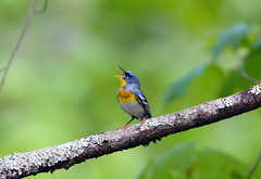 Northern Parula (av8s) Tags: nature birds photography newjersey nikon wildlife nj sigma warbler songbirds northernparula parula perchingbirds oldmineroad d7100 120400mm