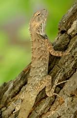 Indian Garden Lizard (chdphd) Tags: lizard khajuraho calotesversicolor calotes indiangardenlizard