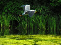 Heron (gallftree008) Tags: wild green bird heron nature birds crane wildlife reservoir stork avian naturesbeauties naturescreations