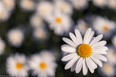 marguerite (zora_schaf) Tags: flower focus blumen marguerite weiss blumenwiese margerite zoraschaf