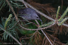 Smorgasboard... (dbifulco) Tags: nature birds pinetree yard wildlife behavior graycatbird grca pinesawflylarvae