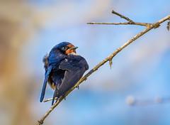 Barn Swallow (Tracy Munson Photography) Tags: blue ontario canada bird nature birds animals closeup wildlife barnswallow birdwatching pointpelee southernontario