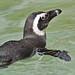 Ein skeptischer Pinguin