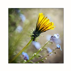 L'Horloge du Berger (Marie 35 (140)) Tags: macro fleur pissenlit sigma105mm
