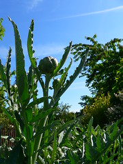 Tutto Sul Carciofo pianta damgas in cucina (damgas86) Tags: macro primopiano pianta carciofo damgas