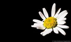 DSC_0246 (vetlerokkones-engebrten) Tags: plant black flower nikon sigma 28 105mm backround d610