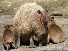 Capibara ouwehands JN6A1946 (j.a.kok) Tags: capybara ouwehands capibara