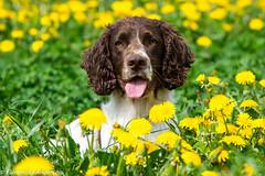 FAN_4114.jpg (Flemming Andersen) Tags: dogs denmark spring outdoor hund dk hurup draget hurupthy northdenmarkregion helligsvej hebojebi