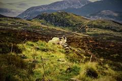 woolly friends (morag.darby) Tags: mountain animal digital landscape scotland highlands nikon view sheep farm hill perthshire nikkor hillside munro ewe d3300