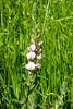 mezei iglice / field restharrow (debreczeniemoke) Tags: summer plant flower meadow fabaceae virág leguminosae nyár növény rét ononisarvensis pillangósvirágúak fieldrestharrow mezeiiglice ononide bockshauhechel olympusem5 ononisdeschamps ackerhauhechel