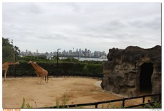 Australie - NSW - Sydney - Taronga Zoo (olivierzeworld) Tags: new wales zoo opera south sydney avril taronga girafe australie 2016