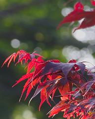 P5258199 (Paul Henegan) Tags: blur leaves backlight japanesemaple 54cropvertical
