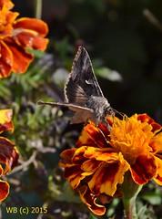 DSC_0226 vgott wb (bwagnerfoto) Tags: flower macro nature animal fauna butterfly insect virg schmetterling rovar lepke szender regly