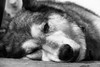 IMG_3479A (Jen L Cohen) Tags: blackandwhite bw dogs faces sleep malamute closeups