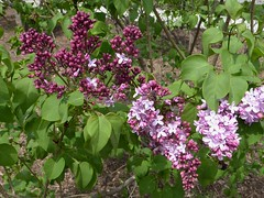 Lombard, IL, Lilacia Park, Budding Lilacs (Mary Warren (7.0+ Million Views)) Tags: pink flowers nature spring bush flora blossoms violet buds blooms lilacs lilaciapark lombardil