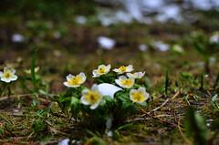 White Flower Bunch (pokoroto) Tags: summer white canada flower june alberta bunch 2016 6   minazuki   rokugatsu monthofwater 28