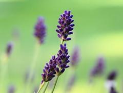 lavender (boggled) Tags: lavender sonya5100