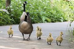 goosie goosie wander (debraflynnphotography) Tags: birds sussex chicks wildfowl wwtarundel
